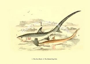 Fox Shark  - Picked Dog Fish